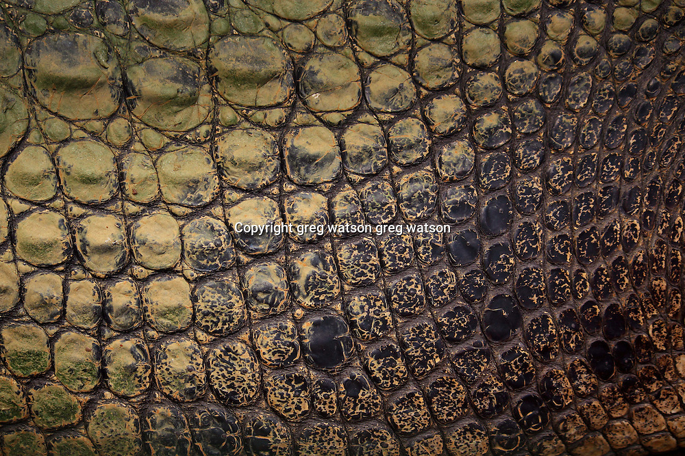 mature estuarine (saltwater) crocodile skin detail, north queensland