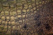 mature estuarine (saltwater) crocodile skin detail, north queensland