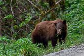 Black Bear (Ursa americanus)