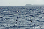 mutton birds (shearwaters or petrels) mark a school of fish, Vava'u, Kingdom of Tonga, South Pacific