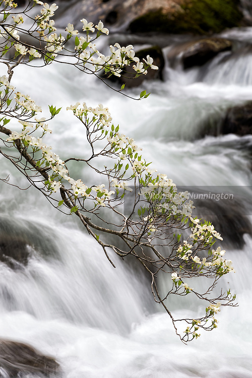 A flowering dogwood (Cornus Florida) juxtaposed against the backdrop of the Little River near Tremont, Great Smoky Mountains National Park, Tennessee, USA. Due to disease (dogwood anthracnose fungus), these trees are listed as endangered in many US states.