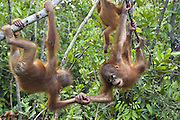 Bornean Orangutan<br /> Pongo pygmaeus<br /> Two year old infant(s) playing in tree<br /> Orangutan Care Center, Borneo, Indonesia