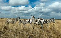 Zebra in Nairobi National Park.