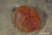 red heart urchin, Meoma ventricosa, emerges from sand at night to feed, Dominica  ( Eastern Caribbean Sea )
