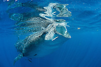 Whale shark (Rhincodon typus) gulping down plankton rich sea water off Isla Mujeres, Mexico.