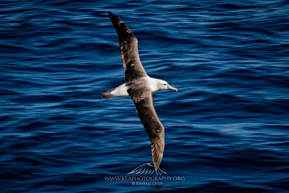 White-capped Albatross in flight over the Southern Ocean in New Zealand territory