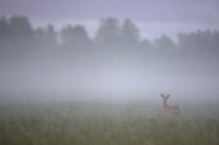 Roe deer buck (Capreolus capreolus) in wet meadow at dawn, Nemunas Delta, Lithuania.<br /> Mission: Lithuania, June 2009.