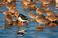A black-necked stilt stands out amongst a flock of marbled godwits