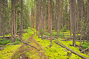 Black spruce trees and lmoss covered forest floor in the Boreal forest <br />