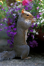 Grey squirrel routing through plant pots on a garden patio, Leicestershire, England, UK.