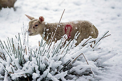 © Licensed to London News Pictures. 03/04/2019. Ingleton UK. A lamb in a snow covered field near the village of Ingleton in the Yorkshire Dales. Photo credit: Andrew McCaren/LNP