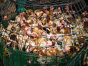 "12 JANUARY 2016 - BANGKOK, THAILAND: Chickens in a pen in the live poultry section of Khlong Toey Market (also spelled Khlong Toei) in Bangkok. On Monday the Thai Ministry of Public Health instructed government agencies to watch for any signs of ""bird flu"" during the winter season, and warned the public to avoid contact with any birds that appear sickly. The latest data from the World Health Organization showed the continuous transmission of avian flu in various countries, both in people and birds. Bird Flu is endemic in China, Vietnam and Indonesia, all important Thai trading partners. There have been no recorded outbreaks of Bird Flu in humans in Thailand several years.       PHOTO BY JACK KURTZ"