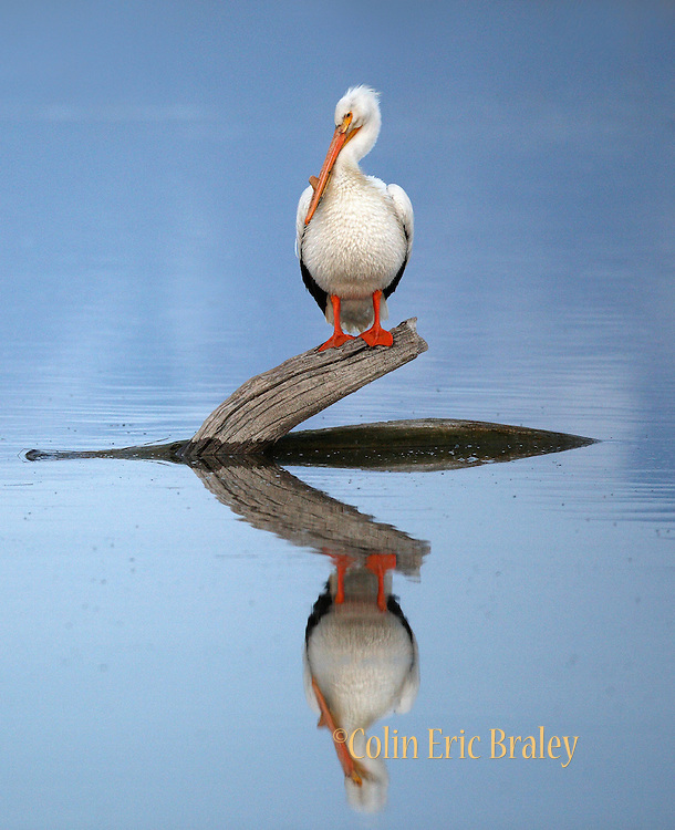A pelican settles in for the night, perched on a fallen tree in the Bear River at the Bear River Bird Refuge in northern Utah, May, 2008.