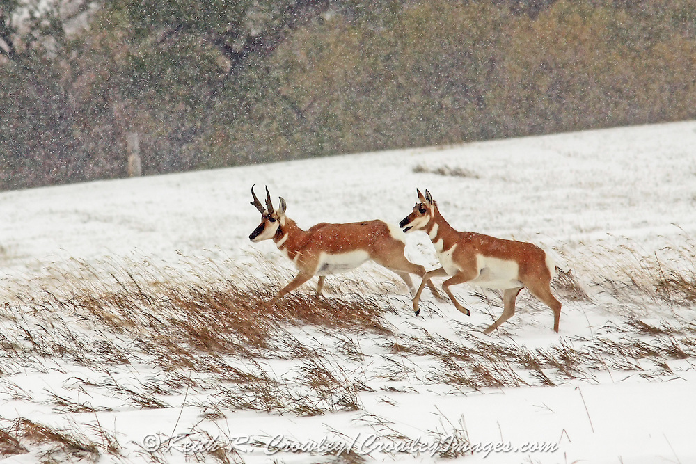 Pronghorn Buck and Doe Running in Winter Habitat