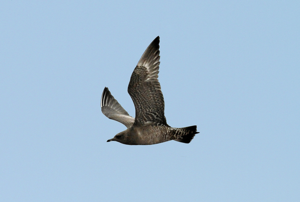 Arctic Skua Stercorarius parasiticus - Juvenile. L 46cm. Aerobatic, graceful seabird with deep wingbeats and narrow, pointed wings. Food parasite of Arctic Tern and Kittiwake. Adult has wedge-shaped tail and pointed streamers. Sexes are similar but adults occur in two morphs. Adult pale phase has white neck, breast and belly, dark cap and otherwise grey-brown plumage. Note faint yellowish flush on cheeks. Adult dark phase is uniformly dark grey-brown. Juvenile is dark rufous brown. Voice Utters nasal calls near nest. Status Local summer visitor to Scottish coasts; coastal passage migrant elsewhere.
