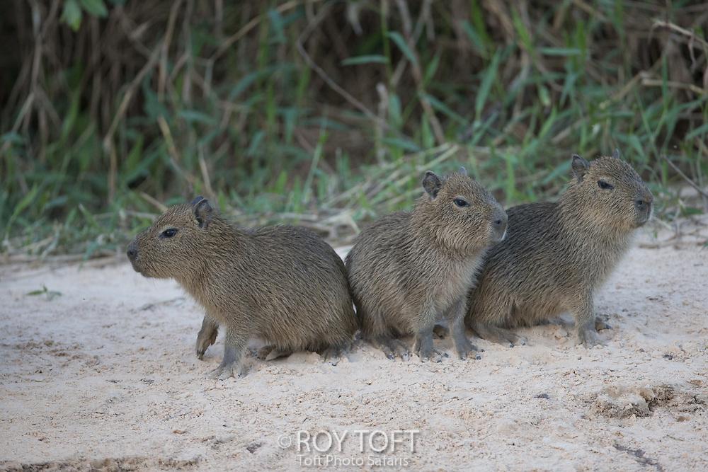 Juvenile Capybara (Hydrochoerus hydrochaeris), Pantanal, Brazil