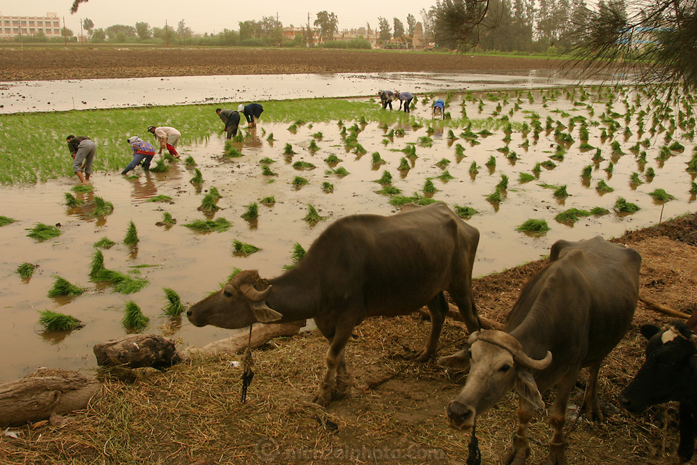 Farmers plant rice near the city of Alexandria, Egypt.