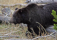 A rare black grizzly bear in Yellowstone Park.