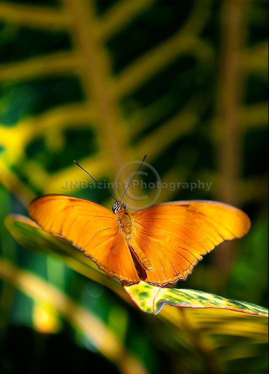 Julia butterfly from the Costa Rica region