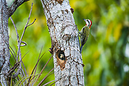 A Cuban Green Woodpecker (Xiphidiopicus percussus) nest with babies. Cuba