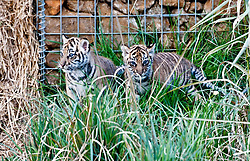 © Licensed to London News Pictures. 24/03/2014. London, UK. Two cubs explore the outdoor paddock.  Three of the world's rarest tiger cubs have made their public debut just in time for Mothers' Day, exploring the outdoor paddock of their home at ZSL London Zoo's Tiger Territory. The seven-week-old cubs joined mum, Melati, when she ventured outside to stretch her legs on Wednesday afternoon, and appeared delighted with their new play area. The cubs, who won't be named until keepers know if they are boys or girls, have been spotted playing in their custom-built cub conservatory area, but this is the first time that they've ventured outside into the main paddock. Photo credit : ZSL/LNP