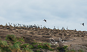 Imperial cormorants nest in large colonies on Isla de los Estados, Argentina.