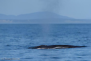 Fin Whale releases a breadth of air as it surfaces before breathing deeply to make another dive.