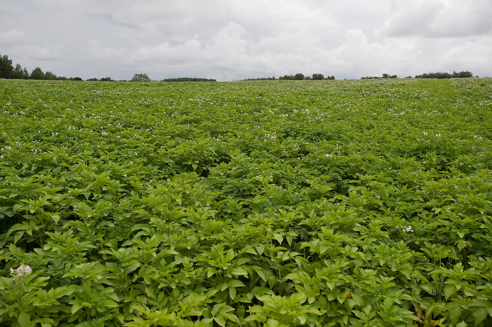 Potato field in Aroostook County in Maine