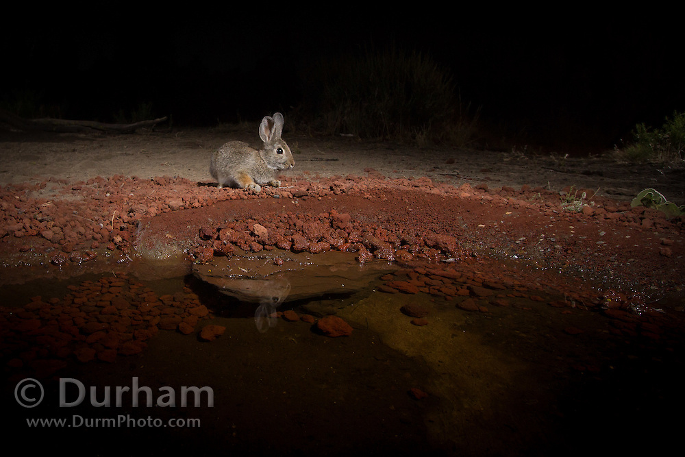 mountain cottontail, (Sylvilgus floridanus) at a desert watering hole in the high-desert of Oregon.