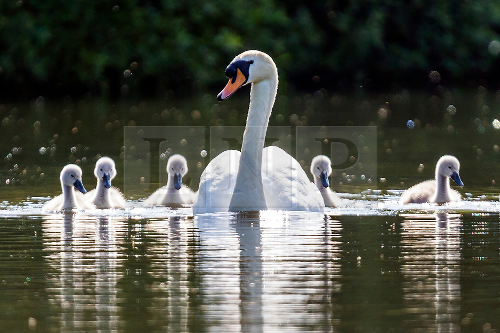 © Licensed to London News Pictures. 13/06/2018. Leeds UK. A swan & her Cygnets swim across the lake at Golden Acre park in the sunshine this morning in Leeds. Photo credit: Andrew McCaren/LNP