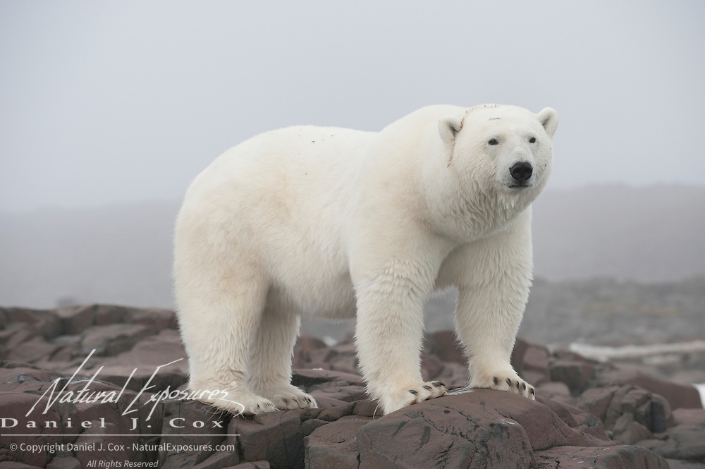 Polar bear on a rock island in Svalbard, Norway.