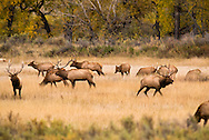 Bull elk compete for cows, Cervus Canadensis, rut, Charles M Russell National Wildlife Refuge, Montana