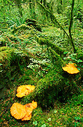 Orange shelf fungus in the Quinault Rain Forest, Olympic National Park, Washington