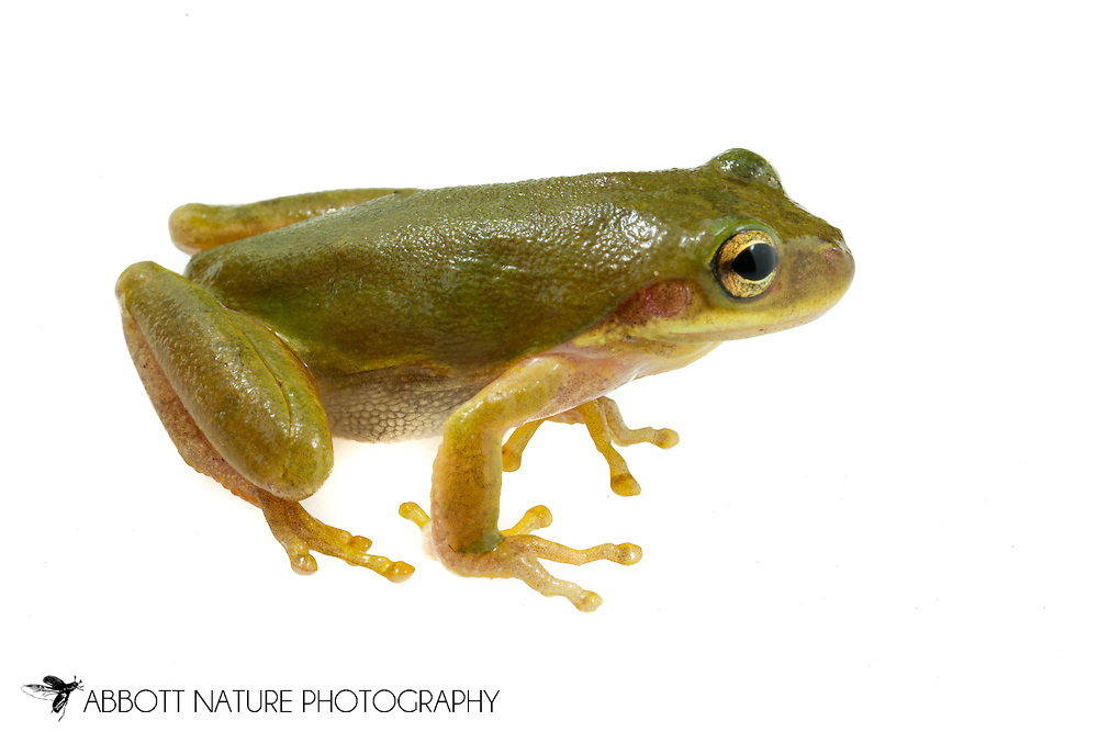 Squirrel Tree Frog (Hyla squirella) <br /> ALABAMA: Tuscaloosa Co.<br /> Tulip Tree Springs off Echola Rd.; Elrod<br /> 26-April-2016<br /> J.C. Abbott #2804 &amp; K.K. Abbott