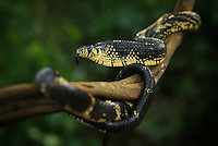 A tiger snake coiled around a liana in Pico Bonito National Park in Honduras, flares its neck in a threat display
