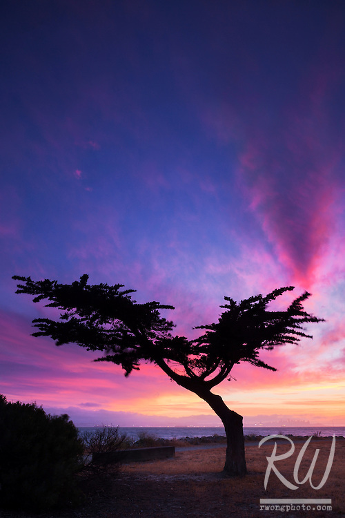 Cypress Tree at Dusk on the Shores of San Francisco Bay, Alameda, California