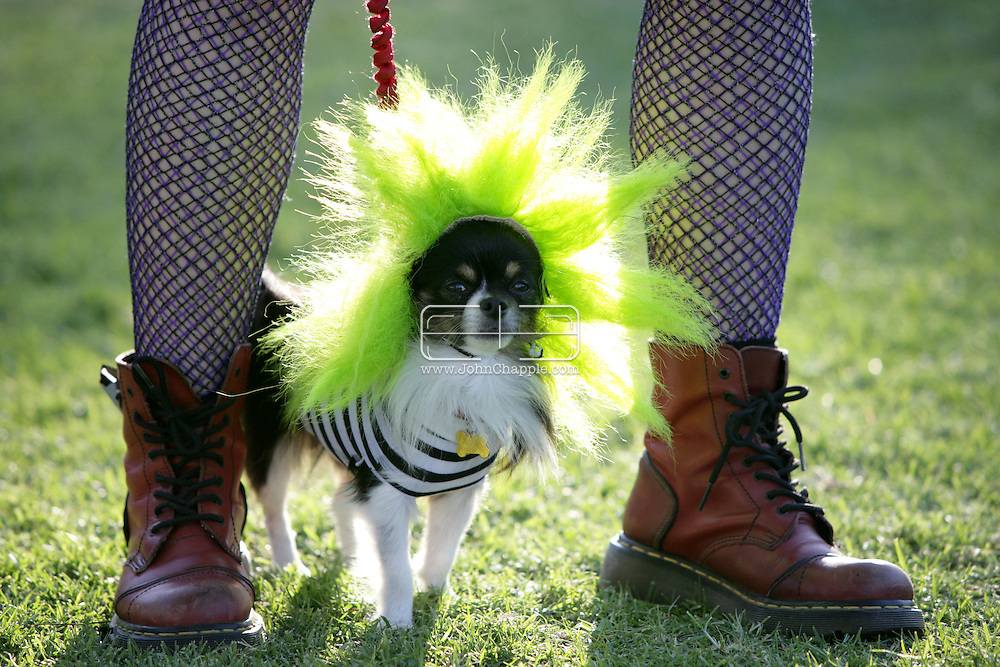 31st October 2009. Long Beach, California. The Haute Dog Howl'oween Parade in Long Beach. Pictured is Zeus the long coat chihuahua dressed as beetlejuice's dog. PHOTO © JOHN CHAPPLE / www.chapple.biz.john@chapple.biz  (001) 310 570 9100.