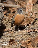 Robin searching bark from freshly peeled ponderosa pine log for insect larvae, © 2014 David A. Ponton