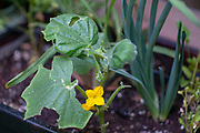 Yellow Cucumber blossom in an urban vegetable garden