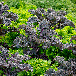 Kale 'Curly Scarlet' with Lettuce 'Can Can'.  Brassica oleracea var. Capitata