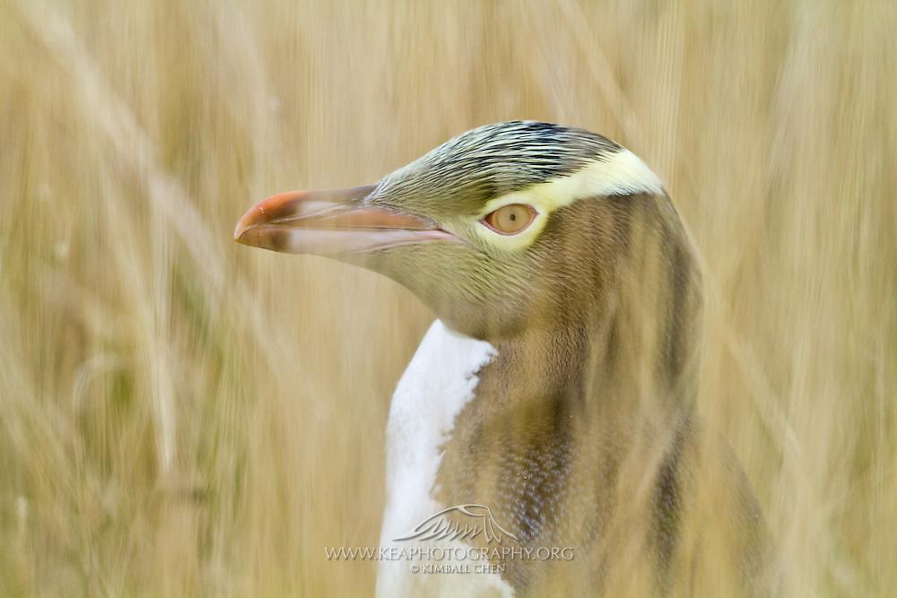 Endangered Yellow-eyed Penguin, hiding amongst the tall grass, Moeraki, New Zealand
