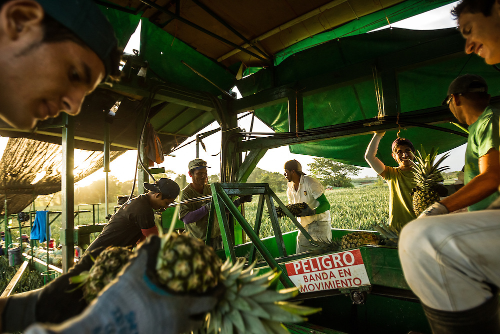Workers harvest pineapple to be exported, from a private industrial farm in Costa Rica on January 13, 3014. Environmentalists claim the pineapple industry is contaminating the environment and local water supplies.