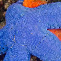 Alberto Carrera, Blue Sea Star, Unckia laaevigata, Starfish, Lembeh, North Sulawesi, Indonesia, Asia