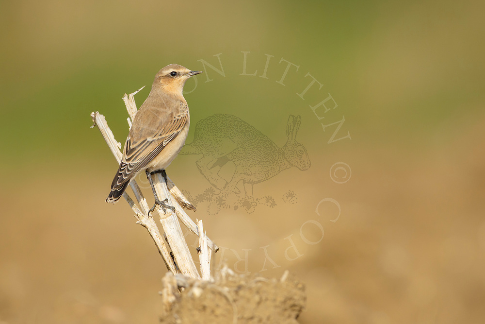 Northern Wheatear (Oenanthe oenanthe) adult female in ploughed field, South Norfolk, UK. August.