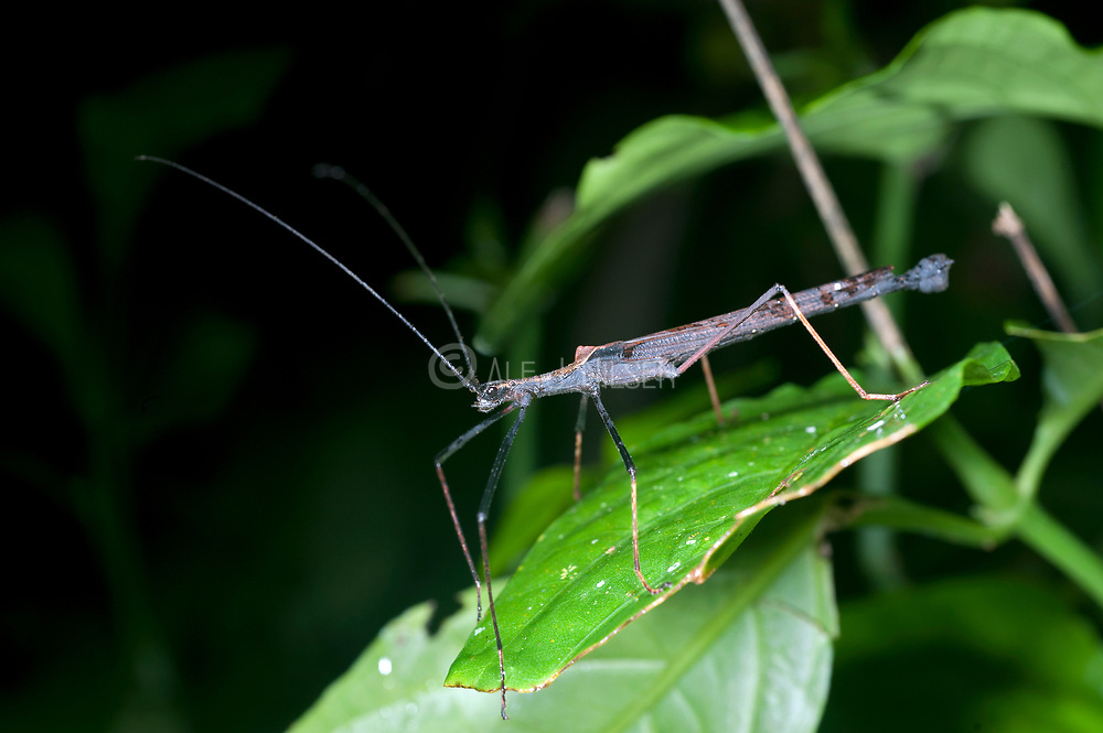 Unknown species of walking stick from La Selva, Ecuador.