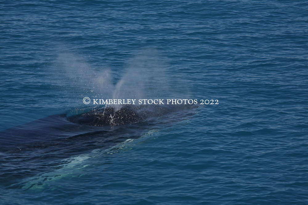 A humbpack whale surfaces next to a charter boat in the Kimberley.
