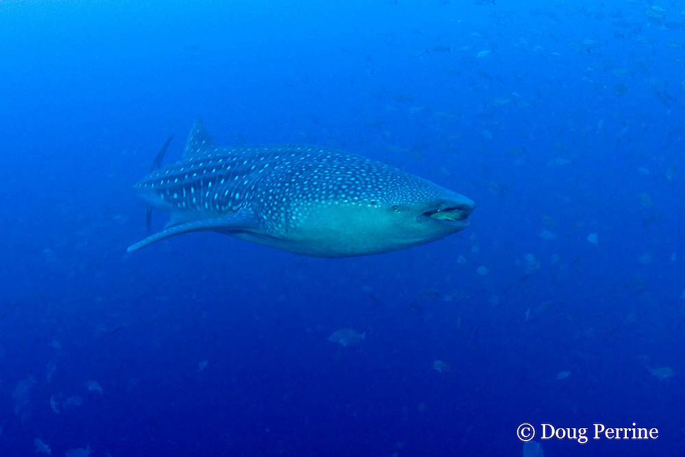175 feet deep on the reef wall, a whale shark, Rhincodon typus, cruises around a spawning aggregation of cubera snappers, Lutjanus cyanopterus, Gladden Spit & Silk Cayes Marine Reserve, off Placencia, Belize, Central America ( Caribbean Sea )