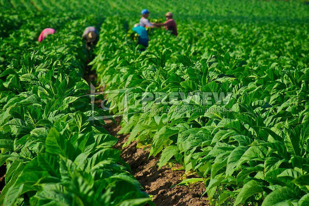 Família de agricultores fazem a colheita manual do fumo, em Venâncio Aires. FOTO: Jefferson Bernardes/ Agência Preview