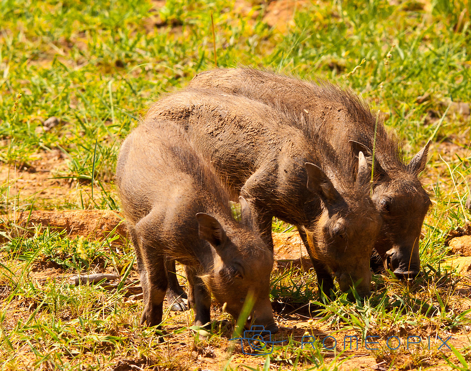 Three puppies of  warthog