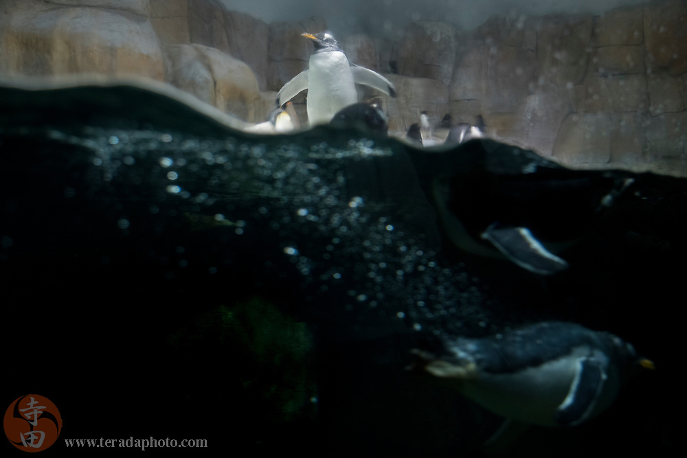 March 24, 2018; Omaha, NE, USA; Gentoo Penguins in the Suzanne and Walter Scott Aquarium at Omaha's Henry Doorly Zoo and Aquarium.
